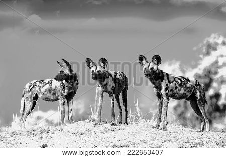 Dramatic Black and White Scenic view of wild dogs (Lycaon Pictus) - Painted Dogs standing on top of a sandbank surveying the area after a recent Kill,  South Luangwa National Park, Zambia, southern africa