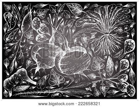 Root and Tuberous Vegetables, Illustration Hand Drawn Sketch of Ulluco, Skirret, Scorzonera, Jicama, Galangal and Earthnut Pea Plants on Black Chalkboard.
