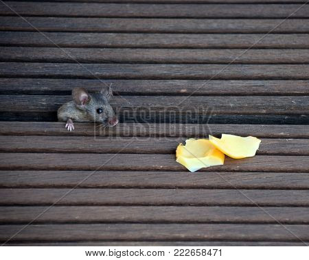 house mouse like cheese at the garden terrace, agouti gene mouse, mus musculus are hungry