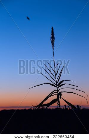 Beautiful dawn with silhouettes of reed against a background of clear sky. Silhouettes of reed in the background of the rising sun. Blue and orange sky without clouds.