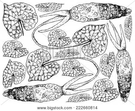 Root and Tuberous Vegetables, Illustration Hand Drawn Sketch of Fresh Wasabi Root orJapanese Horseradish Used for Japanese Condiment for Sushi and Sashimi.