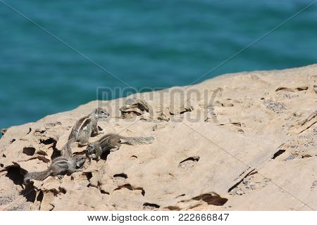 Three small squirrels on a cliff at ocean shore