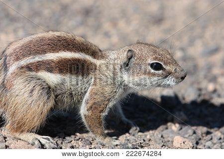 Squirrel on a cliff on the on the Atlantic ocean Fuerteventura