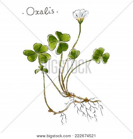 Wild plant oxalis hand drawn in color. Herbal medicine vector illustration