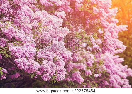 Fragrant lilac blossoms Syringa vulgaris . Shallow depth of field, selective focus