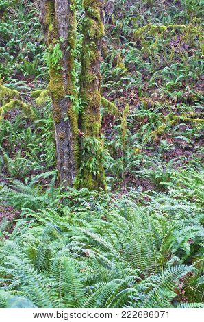 Forest of fern covered hillside with mossy maple tree
