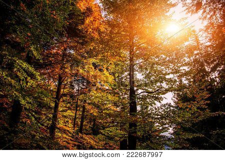 Wonderful autumn landscape. tall trees on hillside with yellow and red foliage in autumn forest on sunny day. soft light effect. autumn nature background
