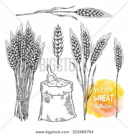 Vector wheat set elements. Sheaf of wheat and bag of flour with shovel. Vector elements for label, packaging.