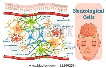 Neurological cells vector illustration diagram, infographic scheme.