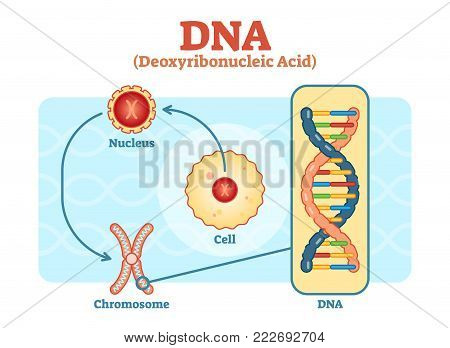 Cell - Nucleus - Chromosome - DNA, Medical vector scheme diagram illustration