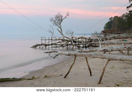 Dead Trees On The Kolka Cape Beach. Baltic Coastline, Latvia.