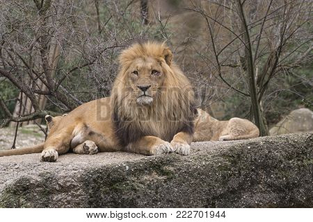 photo of a lion resting over a large rock. the lion is a symbol of strength and courage.