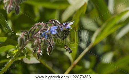 Borage, Borago officinalis blue flower also known as a starflower and honey bee insect flying hangs in the air. macro close up, selective focus. horizontal panorama