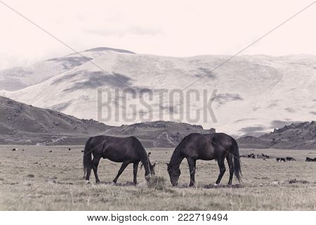 Two horses grazing on alpine meadow, standing, face to face on mountains background at partly cloudy summer day.