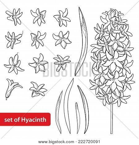 Vector set with outline Hyacinth flower bunch, bud and ornate leaves in black isolated on white background. Fragrant bulbous plant in contour style for spring design or coloring book.