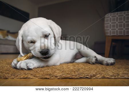 very small cute white purebred labrador retriever dog puppy eats some dog food at home