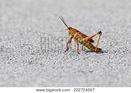 An Eastern Lubber Grasshopper along a path in the Everglades National Park, Florida, November 2017