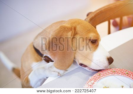 Smart dog eating from plate on table above top view