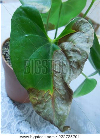 half-dried green leaf in the shape of a heart of a houseplant Anthurium
