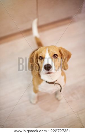 Clean neat beagle dog sitting on floor above top view
