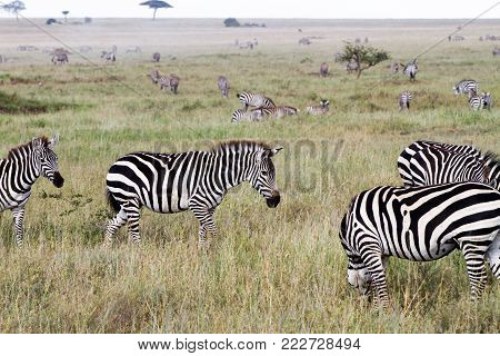 Zebra Species Of African Equids (horse Family) United By Their Distinctive Black And White Striped C