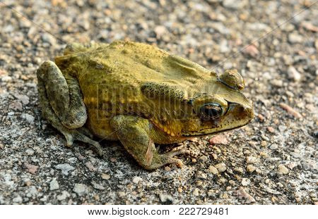 Asian toad (Duttaphryns melanostictus) is widely distributed in South and Southeast Asia.