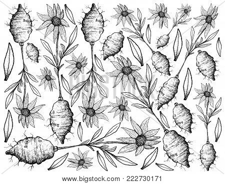 Root and Tuberous Vegetables, Illustration Hand Drawn Sketch of Fresh Jerusalem Artichoke or Helianthus Tuberosus Plant Isolated on White Background.