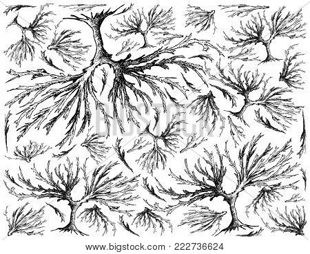 Sea Vegetables, Illustration Background of Hand Drawn Sketch Delicious Fresh Arame, Sea Oak or Eisenia Bicyclis Seaweed. High in Calcium, Magnesium and Iodine.