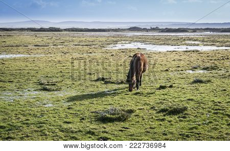 A New Forest pony grazing on marshland at Lymington, New Forest, Hampshire, UK