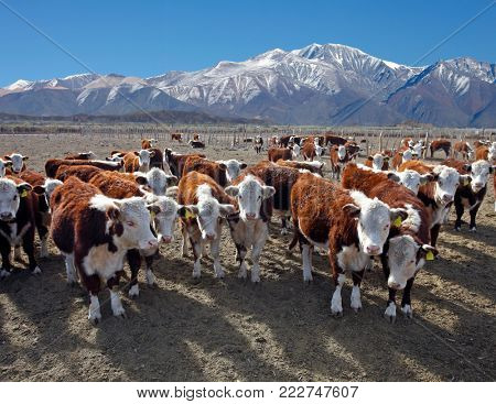Hereford cattle farm in Mendoza Argentina.