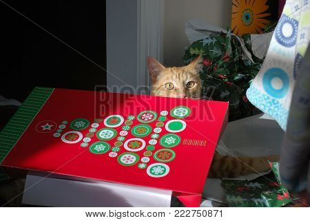 orange cat named Tucker hiding behind Christmas box on his first Christmas morning