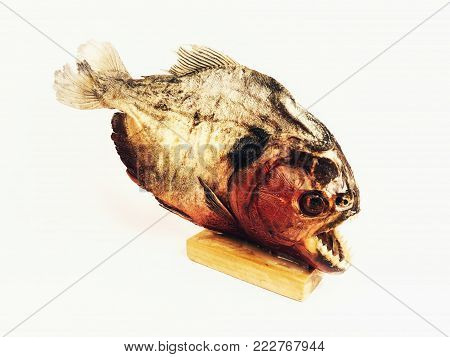 Piranha Taxidermy Decoration on Wooden Block Stand on White Background