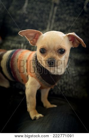 a small chihuahua has a careful look