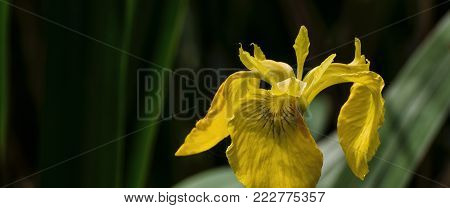 SPRING LANDSCAPE - Yellow Irises in the marsh (Iris Pseudacorus)