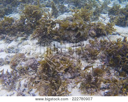 Puffer fish in tropical seashore underwater photo. Coral reef animal. Warm sea shore nature. Colorful sea fish and coral. Undersea view of marine life. Coral reef landscape. Shallow water snorkeling