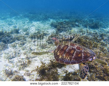 Sea turtle in tropical sea shore. Marine tortoise underwater photo. Olive green turtle in natural environment. Green turtle swims underwater. Coral reef inhabitants. Marine animal of tropical seashore