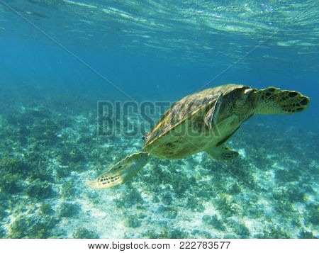 Sea turtle dives to sea bottom. Tropical seashore underwater photo. Marine tortoise undersea. Green turtle in natural environment. Green turtle swims underwater. Marine animal of tropical seashore