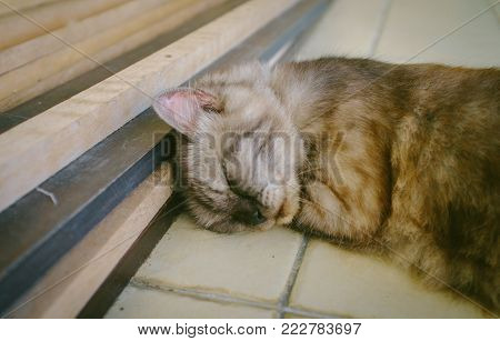 Cat of Maine Coon breed sleeping on the tile floor under with wooden.The Maine Coon is one of the largest domesticated breeds of cat. It has a distinctive physical appearance and valuable hunting skills. poster
