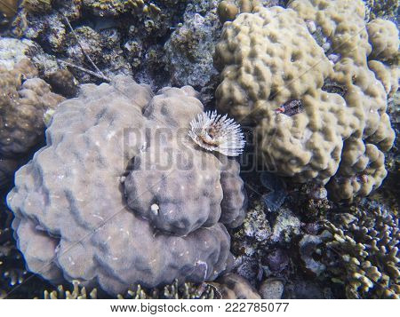 Feather duster worm on coral. Tropical sea bottom ecosystem. Coral reef animals. Exotic island lagoon snorkeling and diving. Tropical seashore underwater photo. Coral reef undersea landscape