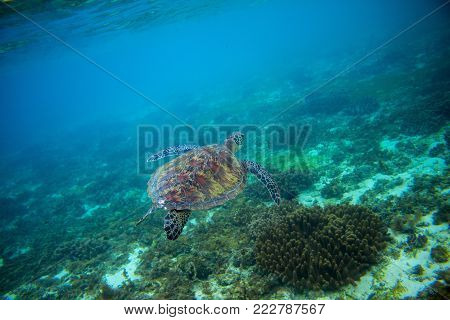 Sea turtle in tropical seashore. Marine tortoise underwater photo. Green turtle in natural environment. Green turtle swims undersea. Coral reef inhabitant. Marine animal of tropical seashore