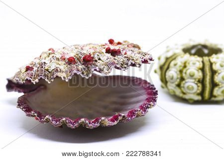 Sea shell on white background closeup photo. Seashore finding studio photo. Summer travel banner template. Exotic sea mollusk. Aquarium decor isolated. Red scallop shell. Green urchin shell macrophoto