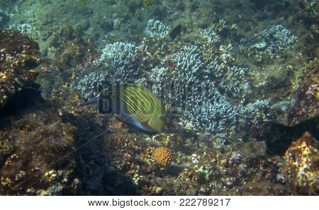 Surgeonfish in tropical seashore underwater photo. Coral reef animal. Warm sea shore nature. Striped surgeon fish and coral. Undersea view of marine life. Coral landscape. Shallow water snorkeling