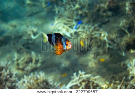 Tropical fish Clownfish in seashore. Coral fish underwater photo. Orange and black anemonefish closeup. Coral reef animal. Warm tropical shore fauna. Aquarium fish in wild nature. Colorful coral fish