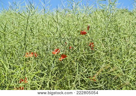 detail of a green canola field including some red corn poppy flowers at summer time