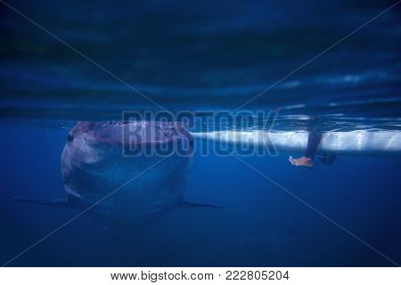 Whale shark and fisherman boat underwater photo. Whale shark closeup by sea surface. Huge oceanic animal. Biggest shark in natural environment. Snorkeling or diving with whale shark in Philippines
