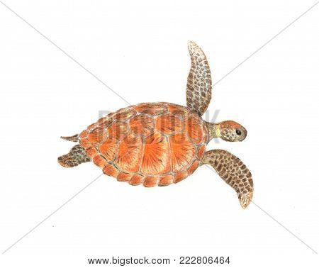 Sea turtle isolated on white hand-drawn illustration. Colorful sea turtle drawing. Marine animal illustration. Cute marine tortoise isolated. Turtle by color pencils and crayons. Endangered species