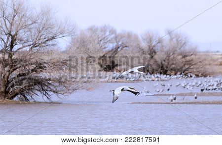 A Sandhill Crane Pair Glides in Above its Winter Survival Group Standing by a Pond and Prepares to Land