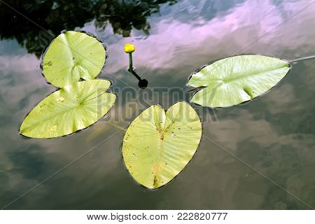 nenuphar, water lily, spatter-dock in the lake