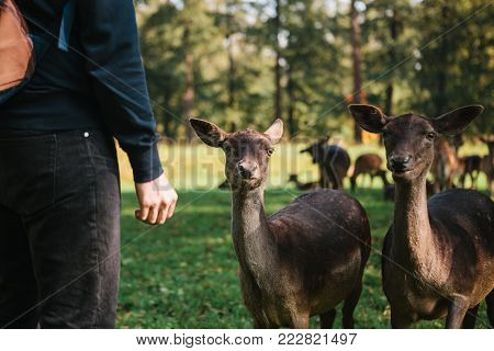 A person stands next to young deer in a natural habitat. Animals