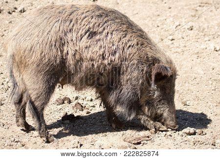 Wild boar dry dirt in the zoo .
